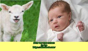 שחיטת כבש לרגל הולדת תינוק באסלאם